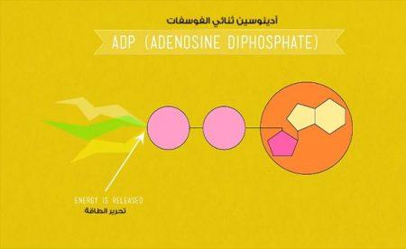 أدينوسين ثلاثي الفوسفات