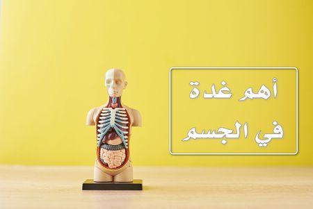 هل تعرف ما هي أهم غدة في الجسم