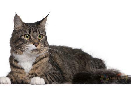 اجمل وافضل انواع القطط