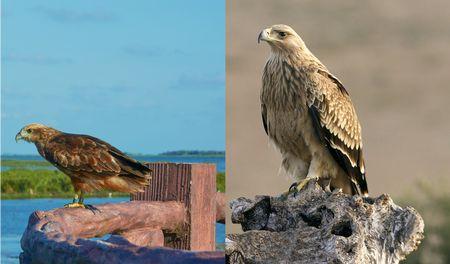 النسر والصقر , Eagle , hawk