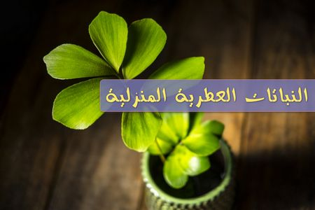 النباتات العطرية المنزلية