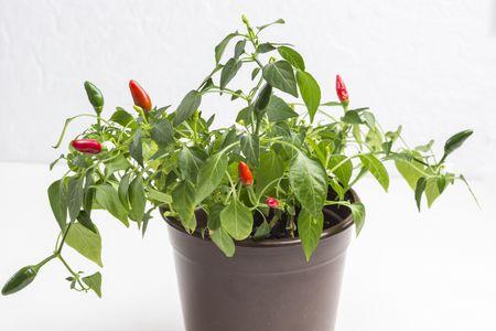 النباتات المتدلية
