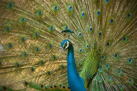 معلومات عن الطاووس جميلة ومدهشة