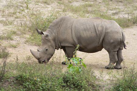 ستقرأ هنا معلومات عن وحيد القرن وهذه صورة له