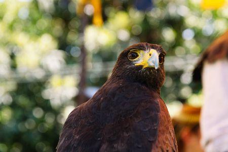 هنا معلومات عن الصقر وهذه صورة لهذا الطائر القوي