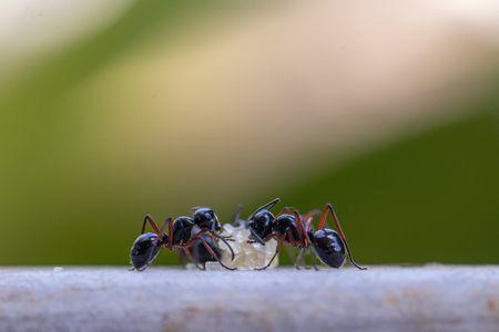 اقرأ معلومات عن النمل وإليك صورة هذه الحشرة