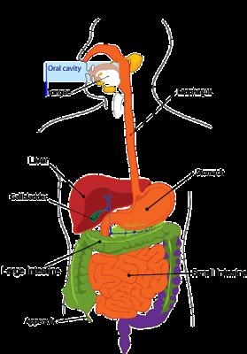 الزائدة الدودية , صورة,Appendix