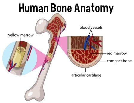 نخاع العظم ، زراعة النخاع ، اعتلالات العظام ، العمود الفقري