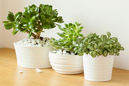 النباتات التي تتحمل البرودة , Crassula ovata