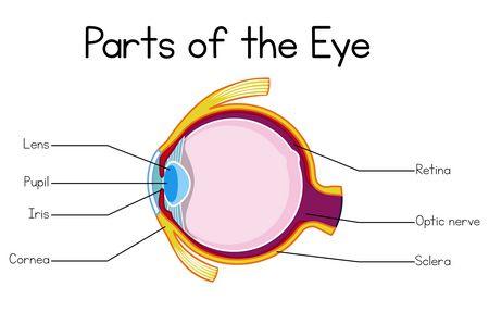 صورة , عين , العصب البصري