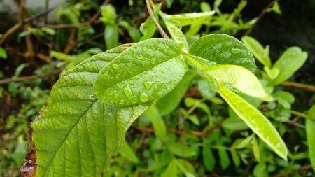 صورة , أوراق الجوافة , علاج للكحة