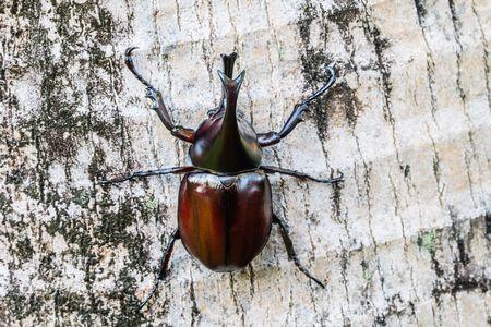 صورة , عالم الحشرات , خنفساء هرقل