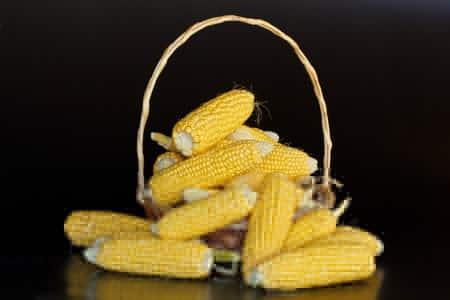 الذرة،حبوب،صورة