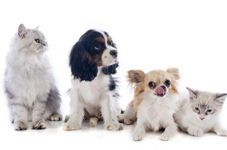 صورة , قطط , كلاب , الحيوانات الأليفة
