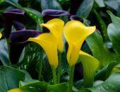صورة , نباتات , أزهار , نبتة الكالا