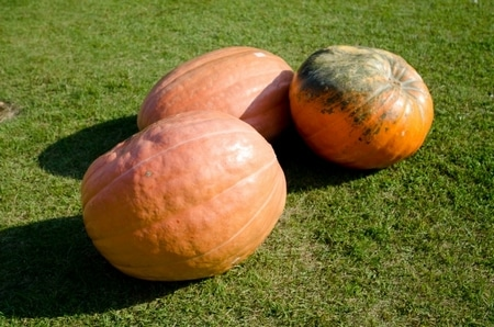 Pumpkin،اليقطين،صورة