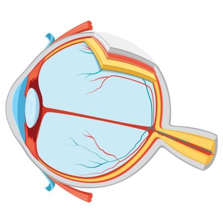 شبكية العين ، اللطخة الصفراء ، اعتلالات العيون ، أمراض العين