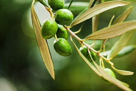 صورة , النبق , شجرة السدر