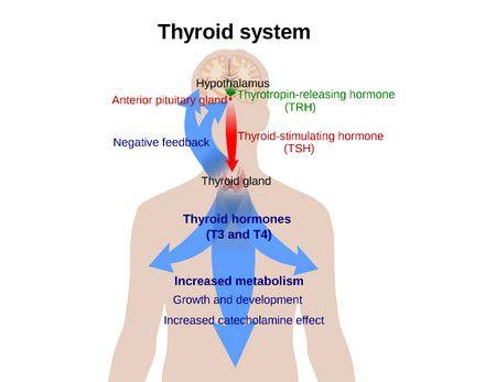 الغدة الدرقية , Thyroid System , مرض
