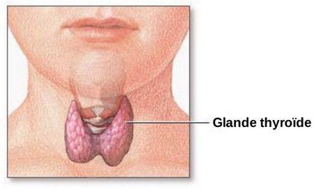 الغدة الدرقية،Thyroid