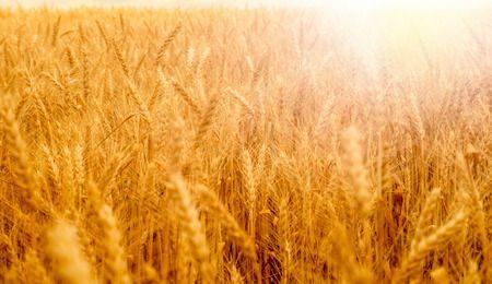 صورة , حساسية القمح , مرض السيلياك