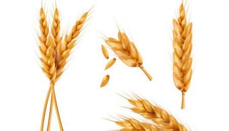 صورة , القمح , حساسية القمح