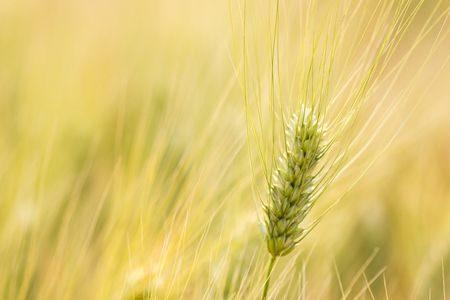 مرض , حساسية القمح , Wheat allergy , صورة