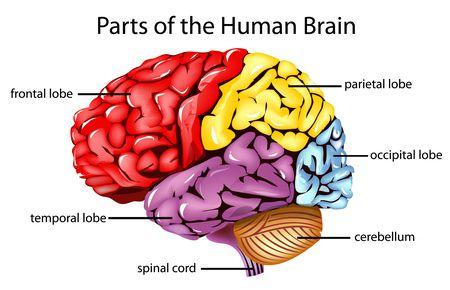 صورة , الدماغ , الصرع المزمن