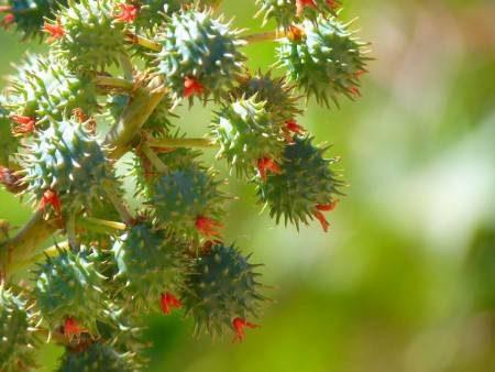 زيت الخروع ، العناية بالبشرة ، مضادات الأكسدة ، الشعر ، البشرة ، الإمساك