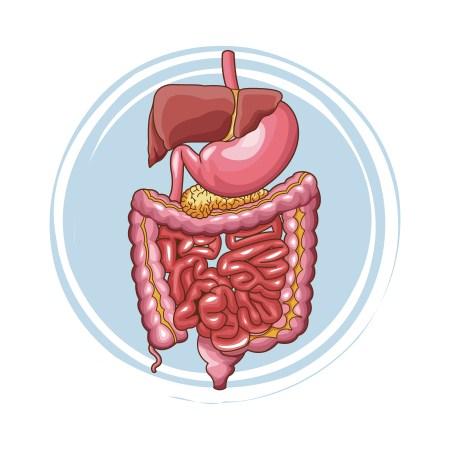 القولون ، الجهاز الهضمي ، مشاكل الجهاز الهضمي ، المعدة