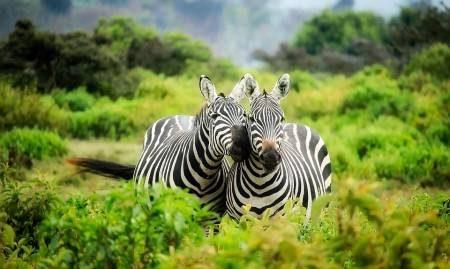 كينيا ، المتنزهات الوطنية ، ماساي مارا ، حديقة جبل إلغون ، بحيرة ناكورو ، جبل كينيا ، السياحة ، المناظر الطبيعية ، الطيور ، الحيوانات