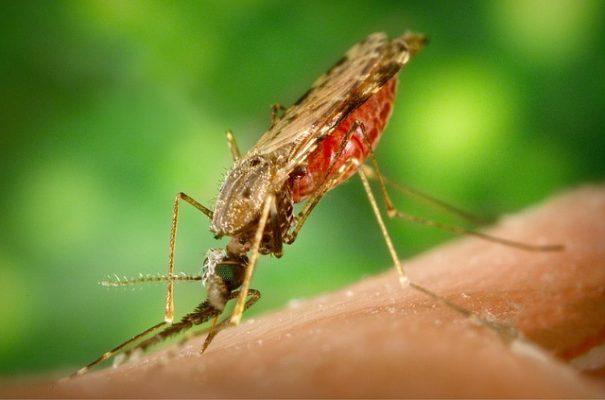 اليوم العالمي للملاريا،الملاريا،صورة،بعوضة