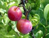 صورة, فاكهة, البرقوق, الأحمر, plum