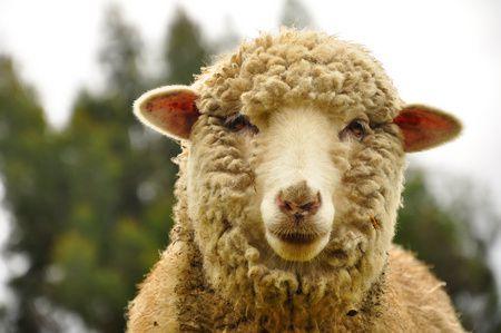 صورة خروف العيد ، الأضحية ، عيد الأضحى المبارك